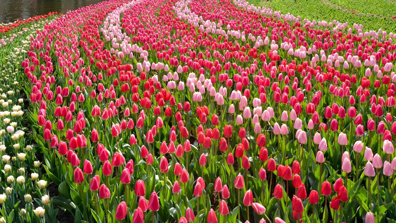 Keukenhof-holland-garden-tulipans